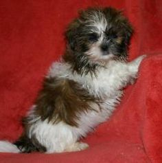 Chester tiny is an adoptable Shih Tzu Dog in Alpharetta, GA. Chester is 11 weeks old and about 2 lbs. He was surrendered from a breeder because his mom chewed the skin of his little penis off when he ...