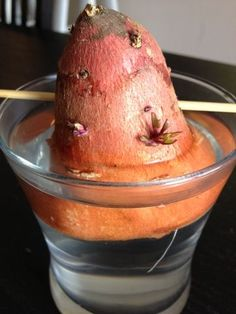 Grow Your Own Sweet Potatoes | Grow your own sweet potatoes, pineapple, celery, green onions