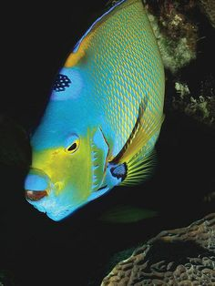 Angel Fish, Bonaire