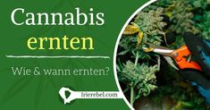Ihre eigenen Pflanzen zu ernten ist das ultimative Erlebnis für jeden Cannabis Grower. Doch der Schlüssel zum Ernten des besten Marihuanas liegt darin, zu wissen wann und wie man die Pflanzen richtig…Mehr Cannabis, Outdoor Power Equipment, Weed, Ganja, Hemp, Harvest, Knowledge, Plants, Tutorials