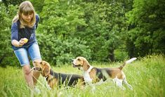 Are you in need of effective beagle puppy obedience training? Discover the newest beagle puppy training techniques such as crate training, potty training to get beagles along with beagle puppy images. The best way to train a beagle to get obedience commands. http://getfreedogtraining.com/beagle-puppy-obedience-training-methods-specific-to-your-breed/