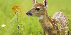 Cute Animals - Baby Deer Came Into My House - Got Rejected at The . Hirsch Wallpaper, Deer Wallpaper, Animal Wallpaper, Computer Wallpaper, Flower Wallpaper, Wallpaper Backgrounds, Animals Images, Nature Animals, Animal Pictures