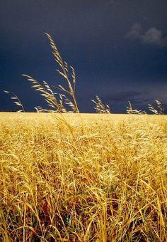 Dark storm clouds & fields of gold Fields Of Gold, Wallpaper Paisajes, Landscape Photography, Nature Photography, Travel Photography, Dame Nature, Wheat Fields, Dark Skies, Storm Clouds