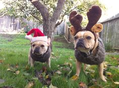 My Frenchies wish everyone a Merry Christmas and Happy Holidays! Festive French Bulldogs in Santa Hat and Reindeer Antlers  } ; )