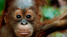 SPEAK UP FOR THE ORANGUTAN RAIN FOREST!  Indonesian rainforest conservationist Rudy Putra is making urgent appeal to the world: The government of Aceh on Sumatra is planning to give huge rainforest areas to mining & palm oil companies for deforestation. The orangutans, rhinos, elephants & tigers living in there are in danger! Even protected areas are not to be spared! The Indonesian president however can stop these plans. PLZ SIGN & SHARE Rudi Putra's urgent petition!