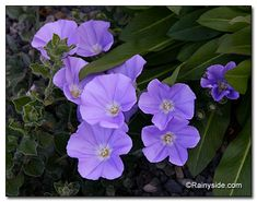 Convolvulus sabatius or ground morning glory is a ground covering sweetheart.