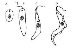 Vývojová stadia trypanosom