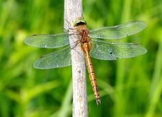 Europe's 10 Most Swift and Vibrant Dragonflies ~Norfolk Hawker