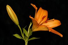 Featured in Flora on Fine Art America. 'Daylily Jewel' from Small World Collection by Artist Dawn Currie. A beautiful orange Daylily blossom boldly set against a black back ground in a horizontal format. #floralart #flowers