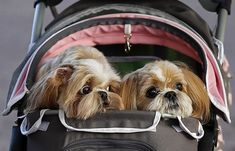 Birmingham, UK: A couple push a pram containing three Shih Tzu dogs as they arrive for the first day of the Crufts dog show.
