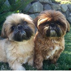 All About Smart Shih Tzu Puppy Grooming Chien Shih Tzu, Shih Tzu Hund, Shih Tzu Puppy, Shih Tzus, Cute Puppies, Cute Dogs, Dogs And Puppies, Doggies, Shitzu Puppies