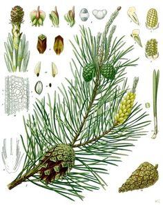 https://upload.wikimedia.org/wikipedia/commons/0/0b/Pinus_sylvestris_-_K%C3%B6hler%E2%80%93s_Medizinal-Pflanzen-106.jpg