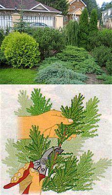 Метод размножения хвойных растений черенками | Делаем сами