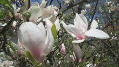 W świecie magnolii