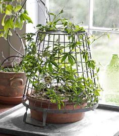 Most gardeners think of vines as outdoor athletes, ready to be trained up exterior fences and walls. But climbers can also soften windows inside, so long as you provide them with something to scale (a few nails and fishing wire will do the trick). --in a shallow terra-cotta pot, then topped it with an upside-down vintage egg basket that acts as a tendril jungle gym.