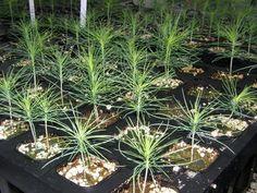 Little Pinus radiata :)