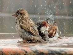 Baby Bath Pictures Animals 67 Ideas For 2019 Beautiful Birds, Animals Beautiful, Animals And Pets, Cute Animals, Bath Pictures, Sparrow Bird, Brown Bird, Funny Birds, Bird Drawings