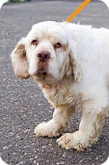 Clumber Spaniel Dogs Dog