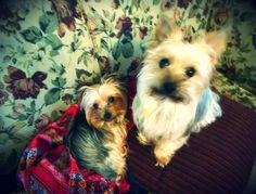 yorkies <3 adorable