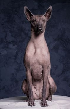 The Xoloitzcuintli. Mexican Hairless Dog, Rare Dog Breeds, Pet Dogs, Pets, Heavy Metal Bands, Unique Animals, Cat Memes, Mans Best Friend, Pos Display