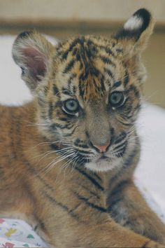 Thanks to Lisa Diaz for this adorable shot of the Safari Park's little tiger man.                                                                                                                                                     Más