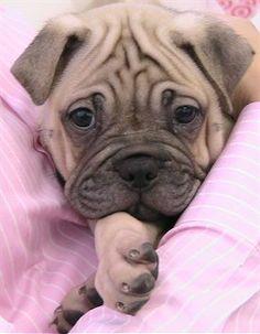 Ori Pei Dog Breed Pictures, 3
