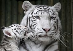 A rare white Indian tiger cub plays with its mother Surya Bara at a zoo in the city of Liberec, Czech Republic, Monday, Sept. 3, 2012. (AP Photo/Petr David Josek)