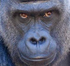 Silverback Gorilla!! I Love their facial expressions!!♥