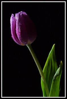 Do not pollute your beautiful, radiant inner Being nor the Earth with negativity. Do not give unhappiness in any form whatsoever a dwelling place inside you. Ekhart Tolle, Purple Tulips, Love My Family, Lavender Flowers, Flower Images, Black Backgrounds, Digital Camera, Planting Flowers, Unhappiness