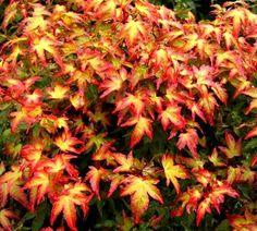 Kigi Nursery - Acer palmatum ' Murasaki kiyohime ' Japanese Maple Tree, $15.00 (http://www.kiginursery.com/dwarf-miniatures/acer-palmatum-murasaki-kiyohime-japanese-maple-tree/)