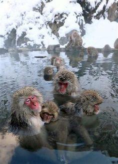 Snow Monkey 温泉につかるニホンザル 長野県山ノ内町・地獄谷野猿公苑