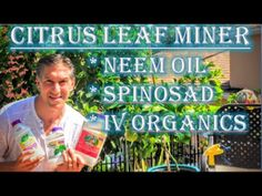 Citrus Leaf Minor | Organic Choices: (1) Neem Oil (2) Spinosad (3) IV Or...