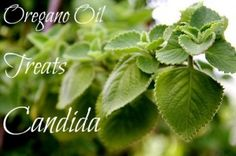 Oregano oil is one of the strongest natural antifungals. It works at killing the most stubborn cases of Candida. #oreganooil #naturalcure