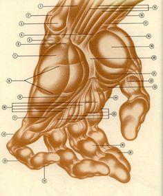 burne hogarth anatomy - Google Search