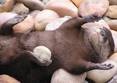 Otters often have a favorite rock that they take everywhere with them. <3
