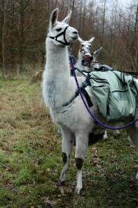 Llama trekking at http://www.nationalforestllamatreks.co.uk