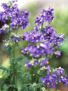 Jacob's ladder is a favorite native plant for shady spots. It has long handsome leaves, sometimes variegated, with a ladder-like arrangement of leaflets. Heavy clusters of clear lavender blue, pink...