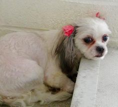 ADOPTED-- URGENT** She is 4 years old and so sweet and pretty but she is scared and wants her family to find her. Please SHARe for her beautiful life, a FOSTER or Adopter would save her. Thanks! #A4864908 I'm an approximately 4 year old female shih tzu.at the Carson Animal Care Center since August 9, 2015.