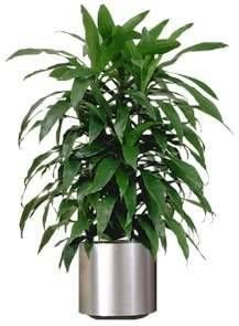 5 Dracaena Removes:* Most pollutants, especially trichloroethylene.  * easy to grow in very little light.  * removing chemical toxins.