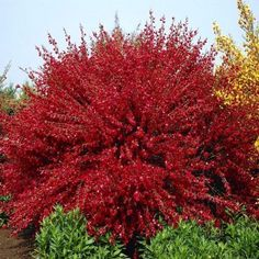 Cytisus praecox Hollandia red broom - 1 shrub Buy online order yours now Red Shrubs, Bushes And Shrubs, Flowering Shrubs, Bulb Flowers, Large Flowers, Broom Plant, Planting Plan, Tall Plants, Diy Garden Projects