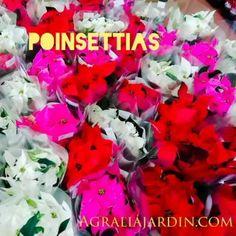 Decora tu Navidad con plantas, flor de pascua, Anthurium, echeveria, y muchas más. #regalaplantas #regalosnavidad #poinsetia #flordepascua #agralia #viella #siero #oviedo #asturias #centrojardineria Plantar, Echeveria, Poinsettia, Shrubs, Garden Centre, Shades Of Red, Irrigation