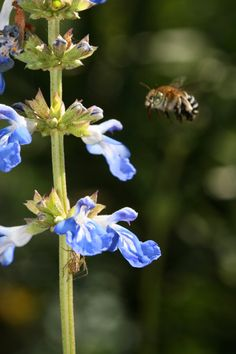 Blue-banded bee and a blue salvia