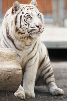 White Tiger by Bodokitty