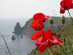 Poppy in Crimea.