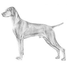 Illustration of the Vizsla breed standard.