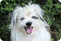 Vancouver, BC - Poodle (Miniature)/Maltese Mix. Meet Garfunkel, a dog for adoption. http://www.adoptapet.com/pet/18516143-vancouver-british-columbia-poodle-miniature-mix