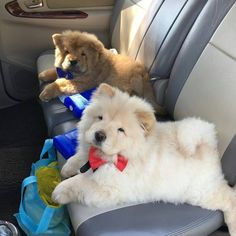 "5,294 Likes, 136 Comments - Chow Chow Puppies (@chowpuppies) on Instagram: ""Little gentlemen's @churroandtoffee #dog #dog #puppy #pup #TagsForLikes…"""