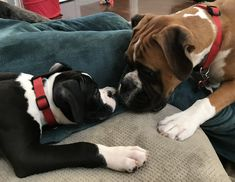 Cute Boxer Puppies, Boxer Dog Puppy, Boxer Rescue, Doggies, Dogs And Puppies, Boxer And Baby, Boxer Love, How Big Is Baby, Family Dogs