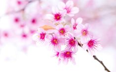 frangipani flower images and wallpapers Download