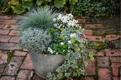 We used: Santolina chamaecyparissus, Festuca glauca 'Intense Blue', white-berried Gaultheria mucronata, Hedera helix 'Glacier', white violas. Container Flowers, Container Plants, Container Gardening, Vegetable Gardening, Festuca Glauca Intense Blue, Ivy Plant Indoor, Blue Fescue, Pot Jardin, Ivy Plants